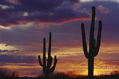 Saguaro Cactus At Dusk Art Print