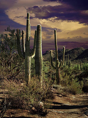 Photograph - Saguaro Cactuses In Saguaro National Park by Randall Nyhof