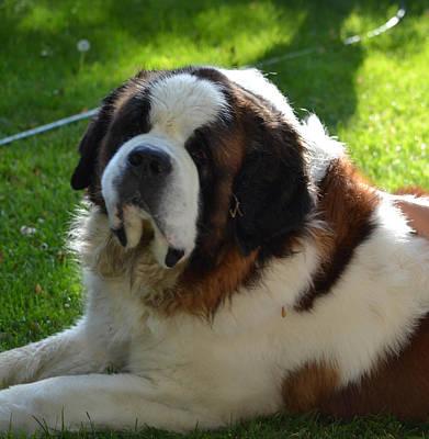 Bernard Photograph - Saint Bernard Dog by Mirek Bialy