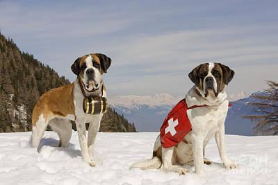 Dog In Snow Photograph - Saint Bernards by Jean-Michel Labat