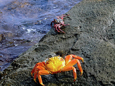 Stock Nature Photograph - Sally Lightfoot Crabs, Grapsus Grapsus by Miva Stock