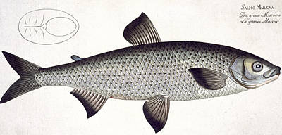Salmon Drawing - Salmon by Andreas Ludwig Kruger