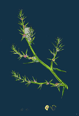 Prickly Drawing - Salsola Kali Prickly Saltwort by English School