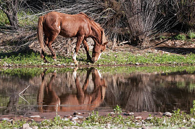 Salt River Wild Horse Art Print