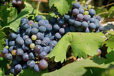 Blue Grapes Photograph - San Carlos, Ibiza, Grapes In San by Nano Calvo