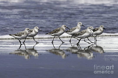 Photograph - Sanderling Reflections by Tim Moore