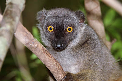 Lemur Photograph - Sanford's Brown Lemur Female by Dr P. Marazzi