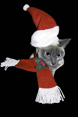Tonkinese Photograph - Santa Cat by Sally Weigand