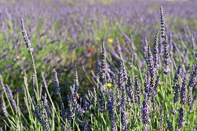 Provence Photograph - Sault, Provence, France by Sergio Pitamitz