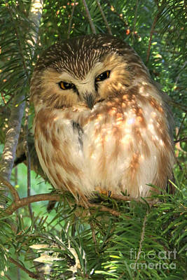 Photograph - Saw-whet Owl by Frank Townsley
