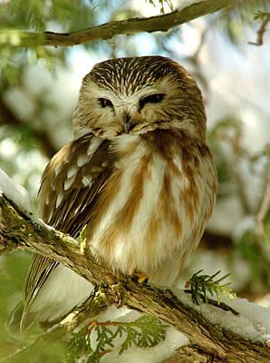 Sawhet Owl Art Print
