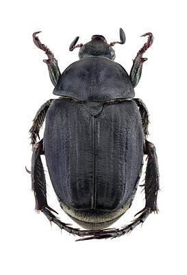 Cut Out Photograph - Scarab Beetle by F. Martinez Clavel