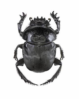 Scarab Beetle Print by Science Photo Library