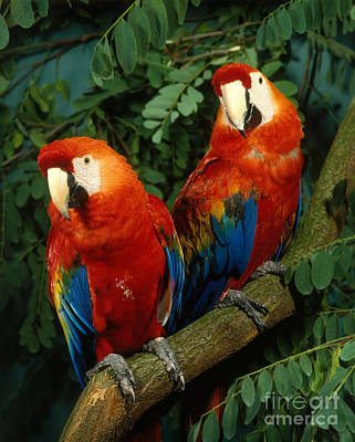Photograph - Scarlet Macaw by Hans Reinhard