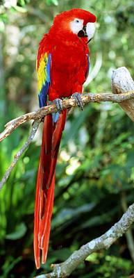 Photograph - Scarlet Macaw by Millard H Sharp