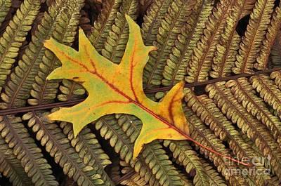 Photograph - Scarlet Oak Quercus Coccinea Leaf by Colin Varndell