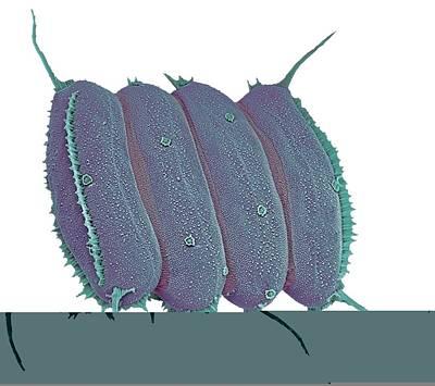 Scenedesmus Algae, Sem Print by Science Photo Library