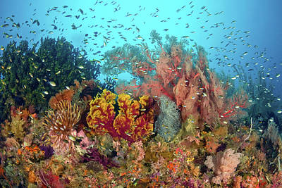 Surgeonfish Photograph - Scenic Of Diverse Reef Life, Misool by Jaynes Gallery