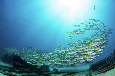 Photograph - School Of Yellow Snapper Swimming by Alessandro Cere