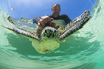 Green Sea Turtle Photograph - Scientist With Turtle by Science Photo Library
