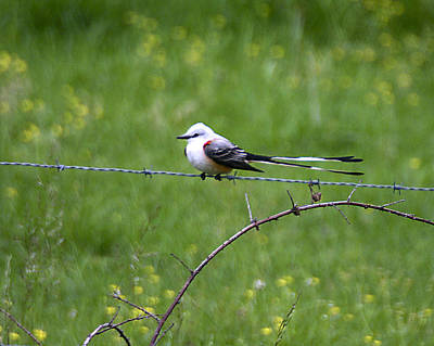 Photograph - Scissortail Flycatcher by Robert Camp