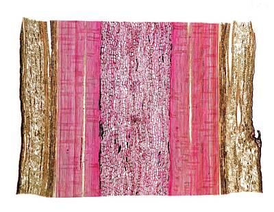 Scots Pine (pinus Sylvestris) Stem Art Print by Dr Keith Wheeler