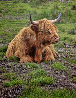 Photograph - Scottish Highland Cattle by Ray Kent