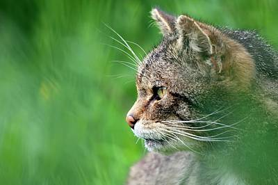 Tabby Photograph - Scottish Wild Cat by Alex Hyde