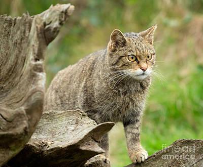 Animal Photograph - Scottish Wildcat by Louise Heusinkveld