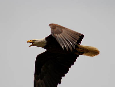 Photograph - Screaming Eagle by Trent Mallett