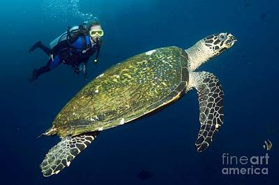 Scuba Diving With A Hawksbill Turtle Art Print