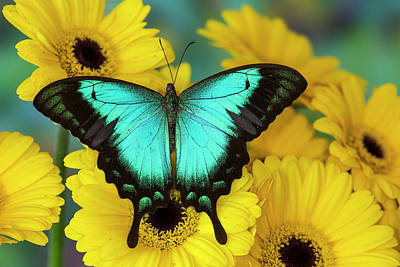 Gerber Daisy Photograph - Sea Green Swallowtail Butterfly by Darrell Gulin