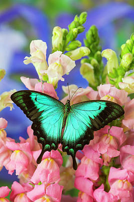 Snapdragons Photograph - Sea Green Swallowtail Butterfly, Papilio by Darrell Gulin