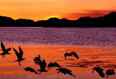 Photograph - Sea Gulls Cavort At Dawn by Robert  Rodvik
