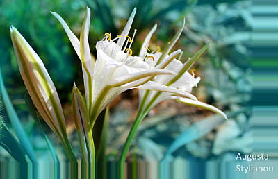 Photograph - Sea Lilies by Augusta Stylianou
