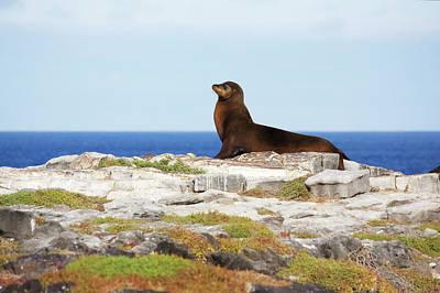 Sea Lion On Rocky Promontory Above Blue Art Print