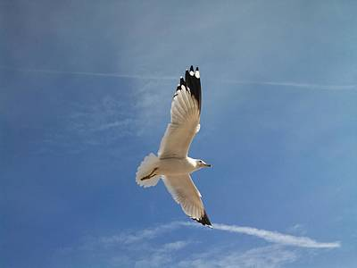 Photograph - Seagull In Flight by Rita Tortorelli