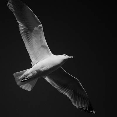 Seagull Underglow - Black And White Art Print