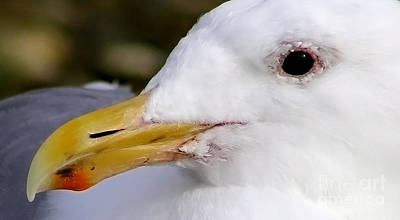 Wildlife Er Photograph - Seagull Portrait by Sue Harper