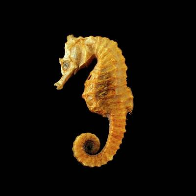 Seahorse Against Black Background Art Print by Science Photo Library