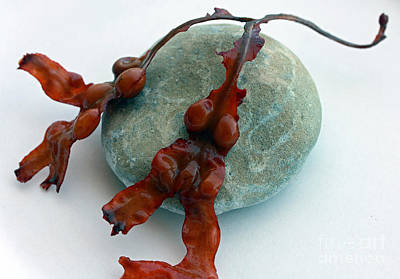Photograph - Seaweed Study II by Mary Haber