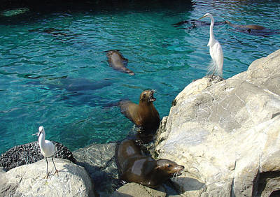 Photograph - Seaworld Sea Lions by David Nicholls