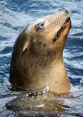 Photograph - Seaworld Sealion by David Nicholls