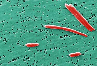 Sebaldella Termitidis Bacteria Print by Science Source