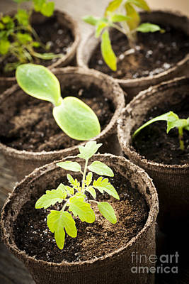 Seedlings Growing In Peat Moss Pots Art Print
