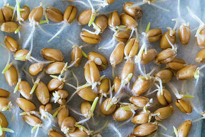 Life New Beginnings Photograph - Seeds Sprouting In Lab by Wladimir Bulgar