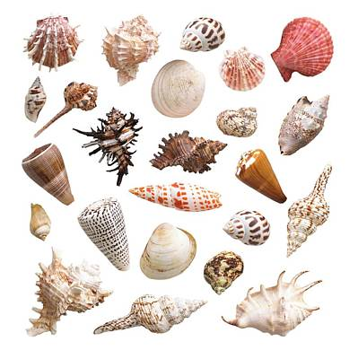Large Group Of Objects Photograph - Selection Of Sea Shells by Science Photo Library