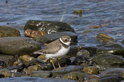 Quebec Fauna Photograph - Semipalmated Plover by Andrew J. Martinez