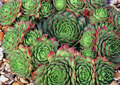 Sempervivum 'rubra Ray' Art Print by Anthony Cooper/science Photo Library