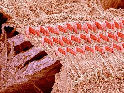 Electron Micrograph Photograph - Sensory Hair Cells In Ear by Susumu Nishinaga